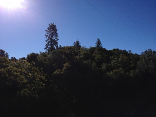 Pine afar