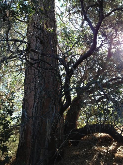 Pine up close